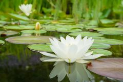 White water lily. Flower and leafs Stock Photos