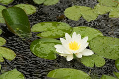 White water lily flower and leaves Royalty Free Stock Images