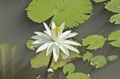 White water lily flower. Lovely white water lily in the sunlight Royalty Free Stock Photo