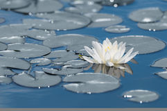 White water lily flower on mirror blue lake surface. Toned and filtered outdoors stock photo with reflection Royalty Free Stock Photos