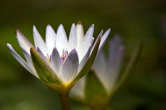 White water lily flower opening royalty free stock photos
