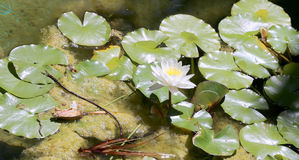 White water lily flower and pads on smooth pond surface Royalty Free Stock Photo