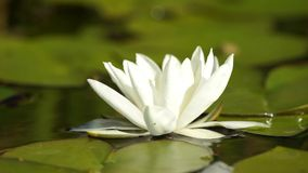 White water lily stock video footage