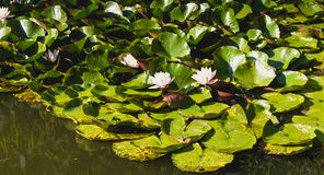 White water lily in flower Stock Photography