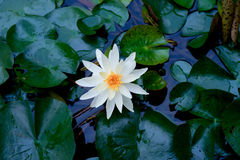 White water lily. White flowering water lily with green leaves on the surface of a pond or lake Stock Photos