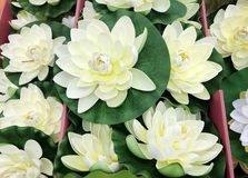 White Water Lily. Flowers Background Royalty Free Stock Photography