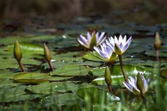 White water lily flowers and buds floating on a pond stock photo
