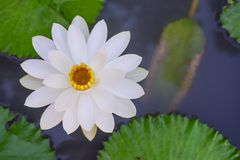 White water lily. In water garden Royalty Free Stock Images