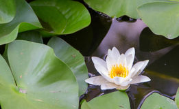 White Water Lily. With green leaves at backgrounde Stock Images