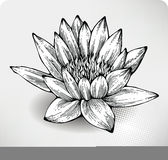 White water lily hand drawing Royalty Free Stock Photography