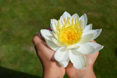 White Water Lily in Hands Royalty Free Stock Photography