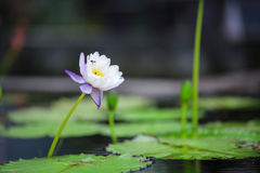 White water lily. The image of white water lily flowers with yellow carpel and small bee on background of water lily leaves. Photo taken on January 2015 Stock Photo