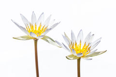 White water lily isolated Royalty Free Stock Images