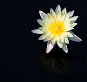 White water lily isolated on black background Royalty Free Stock Image
