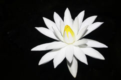 White water lily isolated on dark. Background Stock Image
