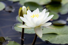 White water lily on the lake Stock Photo