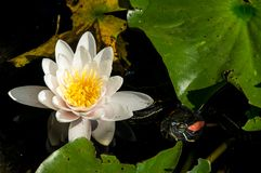 White water lily on the lake. A beautiful, white lotus lily flower on lake surrownded by leaves Stock Photo