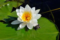 White water lily on the lake (Nymphaea alba) stock photo