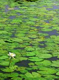 White water lily with leaves. Green environmental concept natural landscape Royalty Free Stock Image