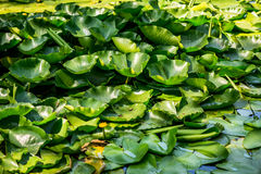 White water lily leaves Royalty Free Stock Photo