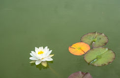 White water lily and lily pads on pond Royalty Free Stock Image