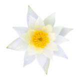 White water lily lotus. File of white water lily lotus Royalty Free Stock Photography