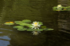 White water lily Royalty Free Stock Photos