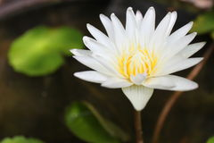 White water lily or lotus flower on a pound Royalty Free Stock Photography