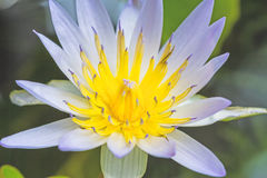 White water lily with lotus leaf on pond Stock Photos