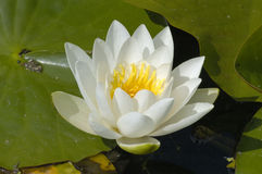 White Water-lily Stock Photo