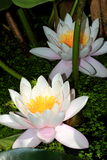 White water lily- Nymphaea alba Royalty Free Stock Image
