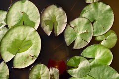 White water lily - nymphaea alba Royalty Free Stock Image