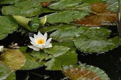 White water lily. (Nymphaea nouchali), also known as the star lotus Stock Photos