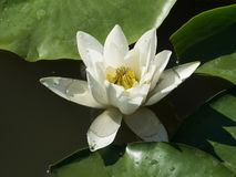 White Water Lily or Nymphea Royalty Free Stock Photos