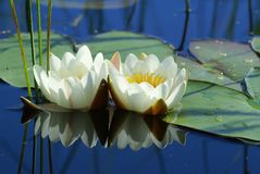 White water Lily nymphea is a very beautiful ornamental aquatic plant. White flowers and green leaves float on the water. stock images