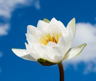 White water lily over blue sky Royalty Free Stock Image