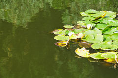 White water lily plan in pond Stock Photos