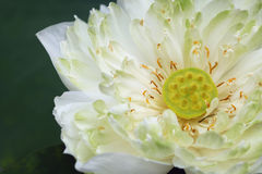 White water lily on plant Stock Photography