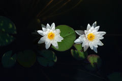 White water lily in a pond. Stock Photography