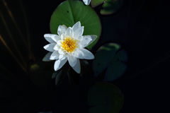 White water lily in a pond. Royalty Free Stock Photos