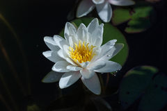 White water lily in a pond. Stock Photo