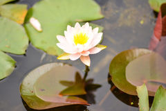 White water lily on a pond. Beautiful blooming flower - white water lily on a pond. Nymphaea alba stock images