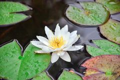 White water Lily in the pond close-up royalty free stock photos