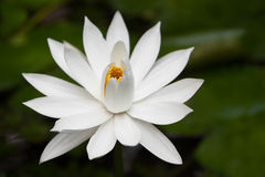 White water-lily in pond. Close-up Royalty Free Stock Images