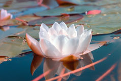 White water lily in a pond Royalty Free Stock Photos