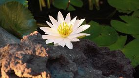 White water lily in a pond, near a rough rock stock video footage