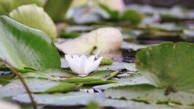 White water lily in a pond. Nymphaea alba. Beautiful white water lily and tropical climates. Water lily background. Water lilies video footage. A living stock video