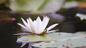 White water lily in a pond. Nymphaea alba. Beautiful white water lily and tropical climates. Water lily background. Water lilies video footage. A living stock footage