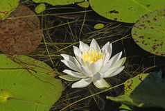 White Water Lily in a Pond Stock Images