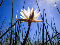 White water lily reaches to bright morning sky in marsh Royalty Free Stock Image